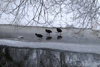 Three Coots