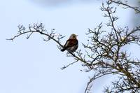 Bird Fieldfare