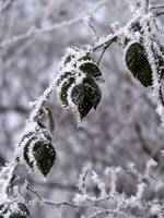 Frosted Leaves of Blackberry