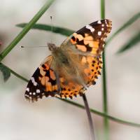 Painted Lady Butterfly 2016 by Karen Adams