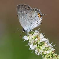 Eastern Tailed Blue Butterfly Square by Karen Adams