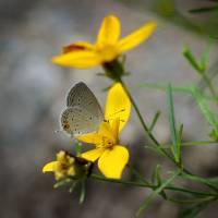 Shy Eastern Tailed Blue Butterfly 2016 by Karen Adams
