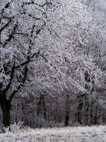 Frosted Cherry Tree