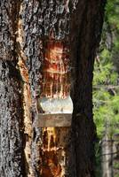Pine resin collecting, Greece