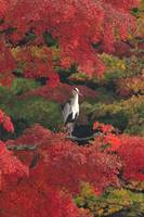 Heron In Fall, Frontal