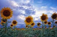 Evening Sunflowers