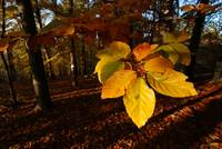 Autumn in Beech Forest