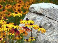 Yellow Flowers and Large Rock