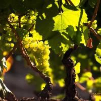 Sonoma County Vineyard P9023338 (2) by Richard Thomas