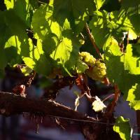 vineyard morning 007 - Copy (2) by Richard Thomas
