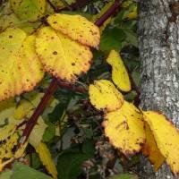 Autumn Blackberry by Richard Thomas