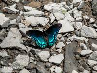Red Spotted Purple Admiral