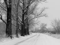 Winter Trees Black and White by Carol Groenen