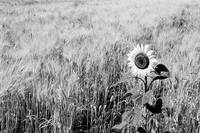 Sunflower in a field of wheat