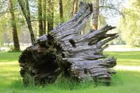 Weathered Tree Trunk by Carol Groenen