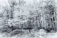 Autumn Woods - Black and White