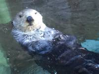 Sea Otter, Seattle Aquarium