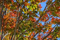 Crepe Myrtle Fall Color
