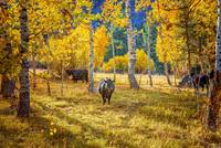 Golden Cow Pasture