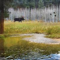 moose in forest aspens by r christopher vest