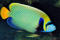 Emperor Angelfish With Cleaner Wrasse