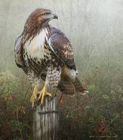 hawk and barbed wire