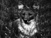 Black and White Dhole