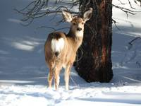 Whitetail Deer