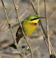 Little Bee-Eater I