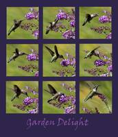 Hummingbird Garden Delight Purple