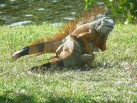 Fighting Iguanas