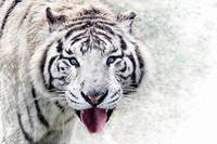 White Tiger Animal Art