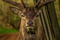 Deer Animal Portrait - Rogue Art