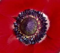 Red Poppy in Switzerland