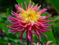 Dahlia Pink and yellow