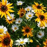 Daisies and Sunflowers