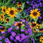 Sunflowers and Asters