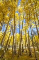 Aspen Grove Vertical