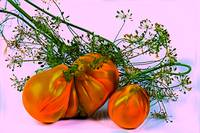 Still life of tomatoes and dill