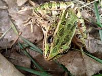 Grass Frog: Aquatic Still Life, Amazing Clarity