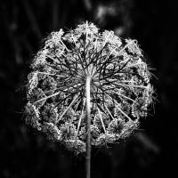 Queen Anne's Lace by Jim Crotty