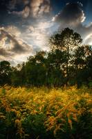 Goldenrod in the Meadow