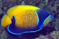 Manado Angelfish