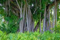 Big Island Banyan