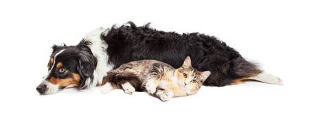 Australian Shepherd Dog and Cat Laying Together