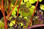 Grapes on the Vine by jacquelinemauritzartist
