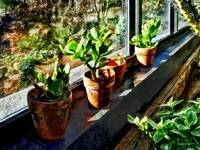 Jade Plants In Greenhouse