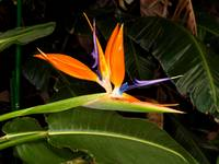 Bird of Paradise Solo