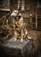 German Shepherd in Gas Mask