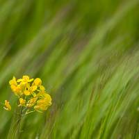 Simple yellow in a sea of green Art Prints & Posters by James Bennett (Mr Bennett Kent)